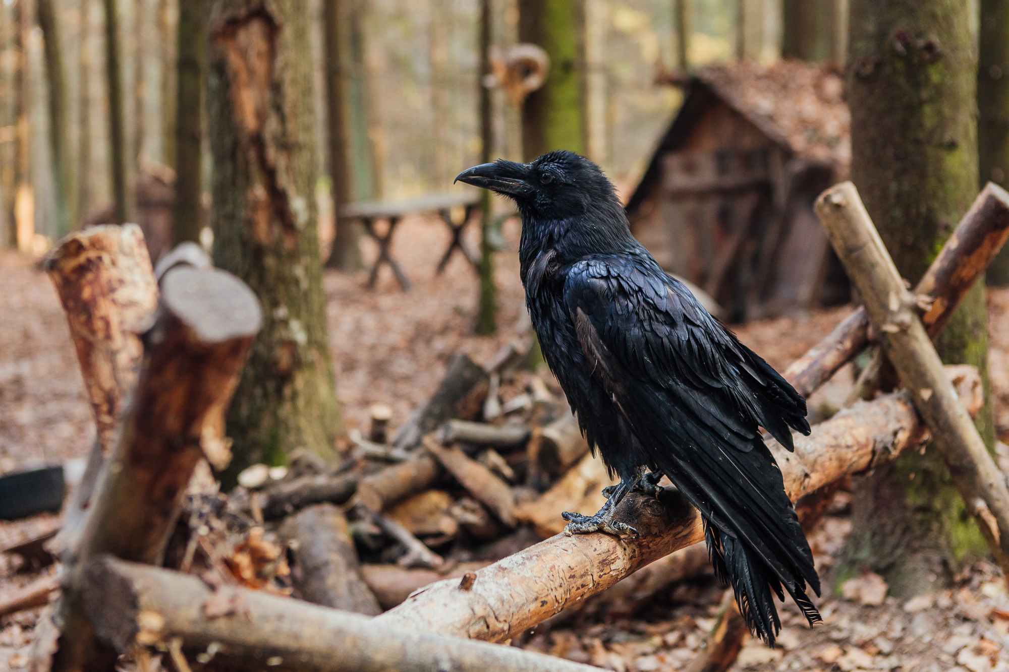 Чорний Ворон